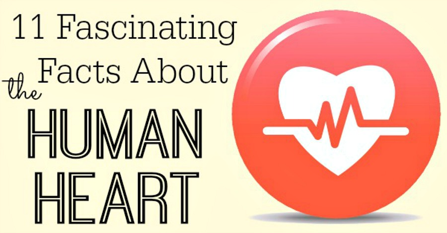 11 Fascinating Facts About the Human Heart - https://healthpositiveinfo.com/facts-about-the-human-heart.html